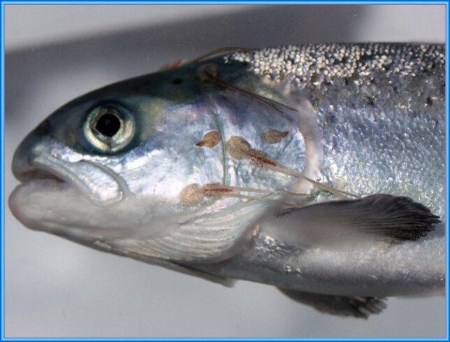 Wild-Caught Salmon with Sea Lice
